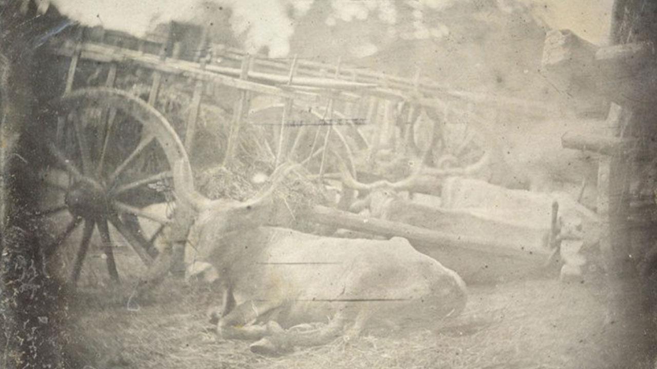 ¿La fotografía más antigua de un animal vivo? Tres vacas recostadas